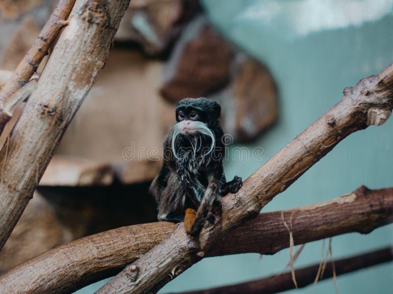 Tamarin do imperador, imperator de Saguinus, macaco do bigode na árvore imagens de stock