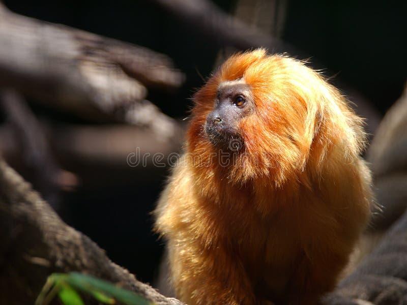 Download Tamarin dourado do leão foto de stock. Imagem de dourado - 114266
