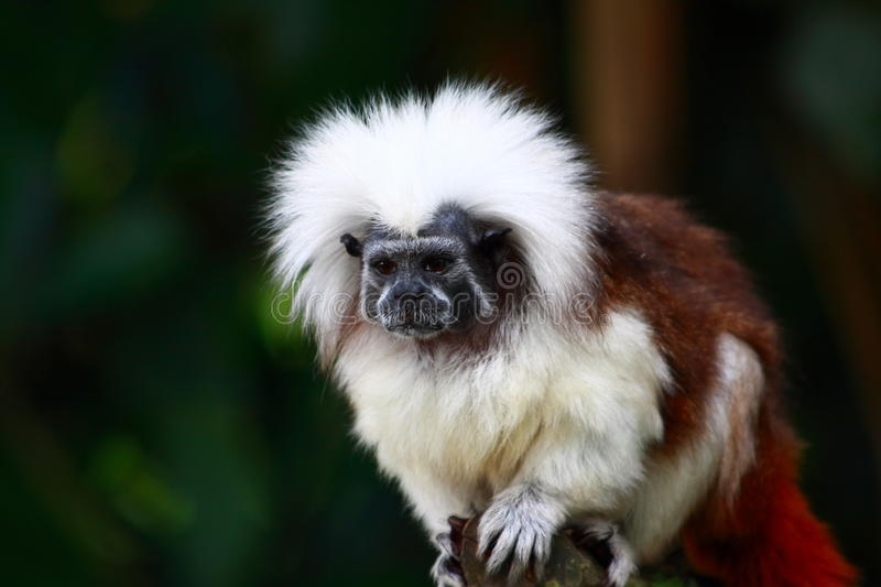 Tamarin Monkey royalty free stock images