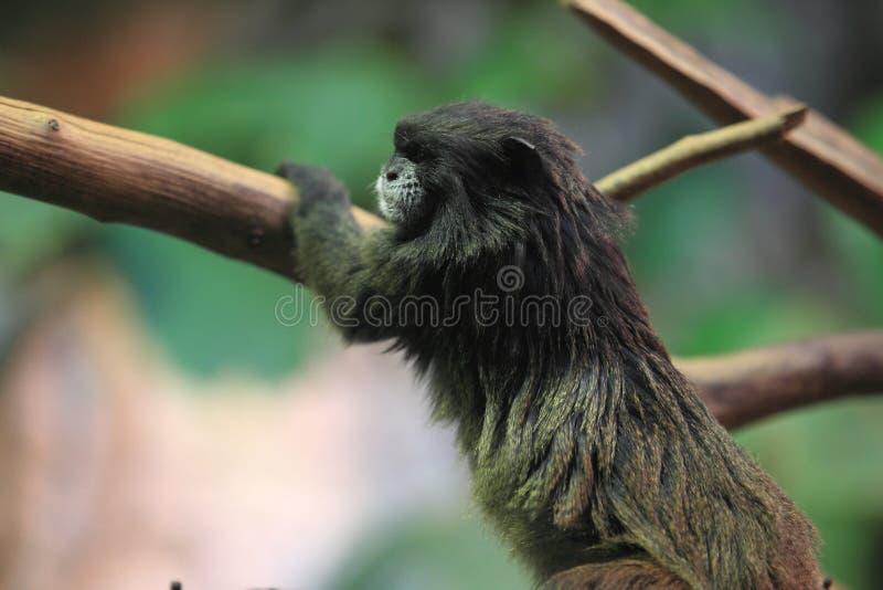 tamarin Noir-enveloppé image stock