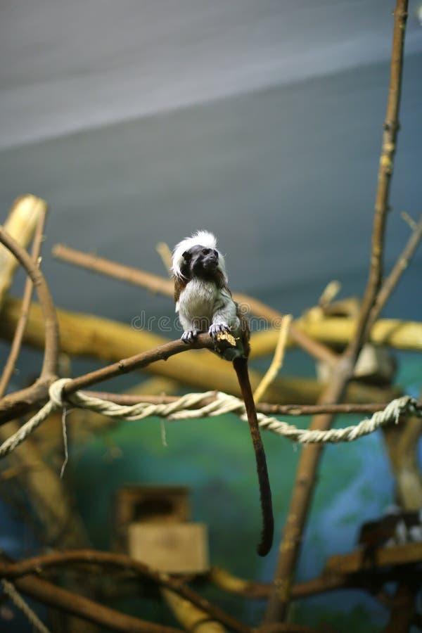 Tamarin Oedipus σε έναν κλάδο στο ζωολογικό κήπο στοκ εικόνα