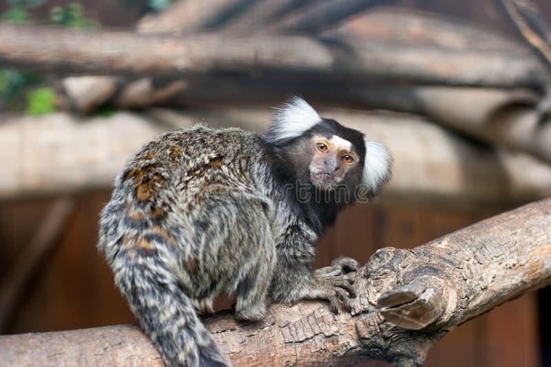 Tamarin på treefilial arkivfoto