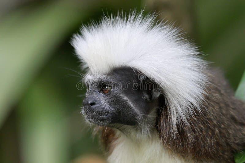 Tamarin supérieur de coton photos libres de droits