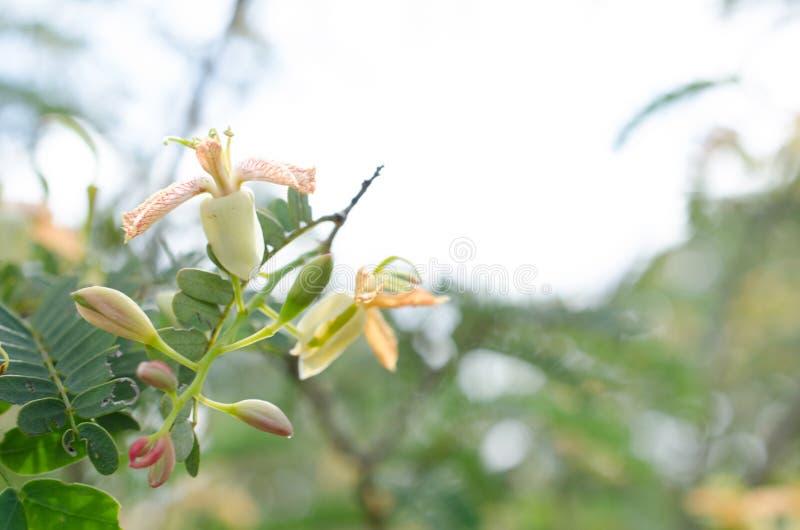 Tamarind άνθιση δέντρων και γενναιόδωρος φυσικός, χημικός-ελεύθερος και στοκ εικόνα με δικαίωμα ελεύθερης χρήσης