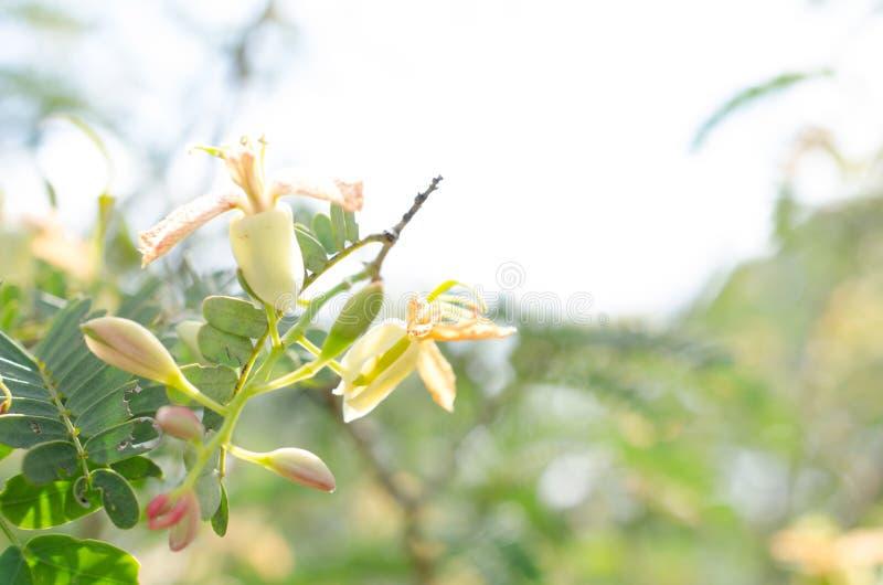 Tamarind άνθιση δέντρων και γενναιόδωρος φυσικός, χημικός-ελεύθερος και στοκ εικόνες με δικαίωμα ελεύθερης χρήσης