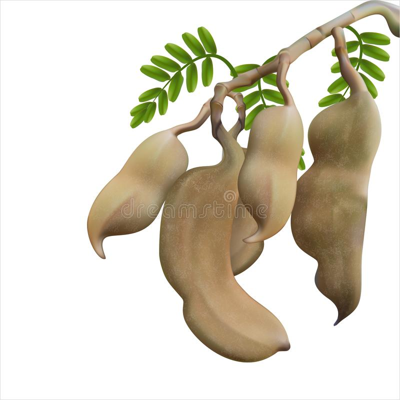 Tamarind is a tamarind leaf from a white background.Can do illustrations stock illustration