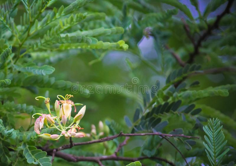Tamarind Tree Flower Texture royalty free stock photos