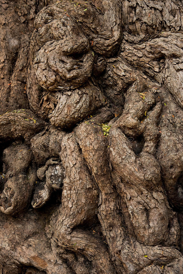 Tamarind tree royalty free stock photo