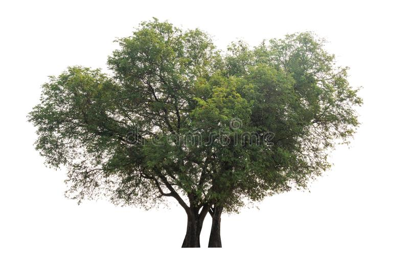 Tamarind tree Tamarindus indica stock photography