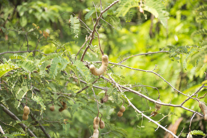 Tamarinde op boom Zuur smaakfruit stock foto