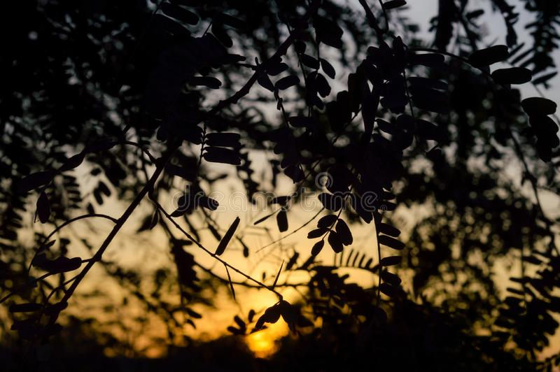 Tamarindeblad en zonsondergang royalty-vrije stock foto