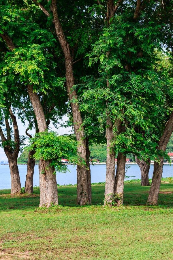 Tamarindeboom stock afbeeldingen