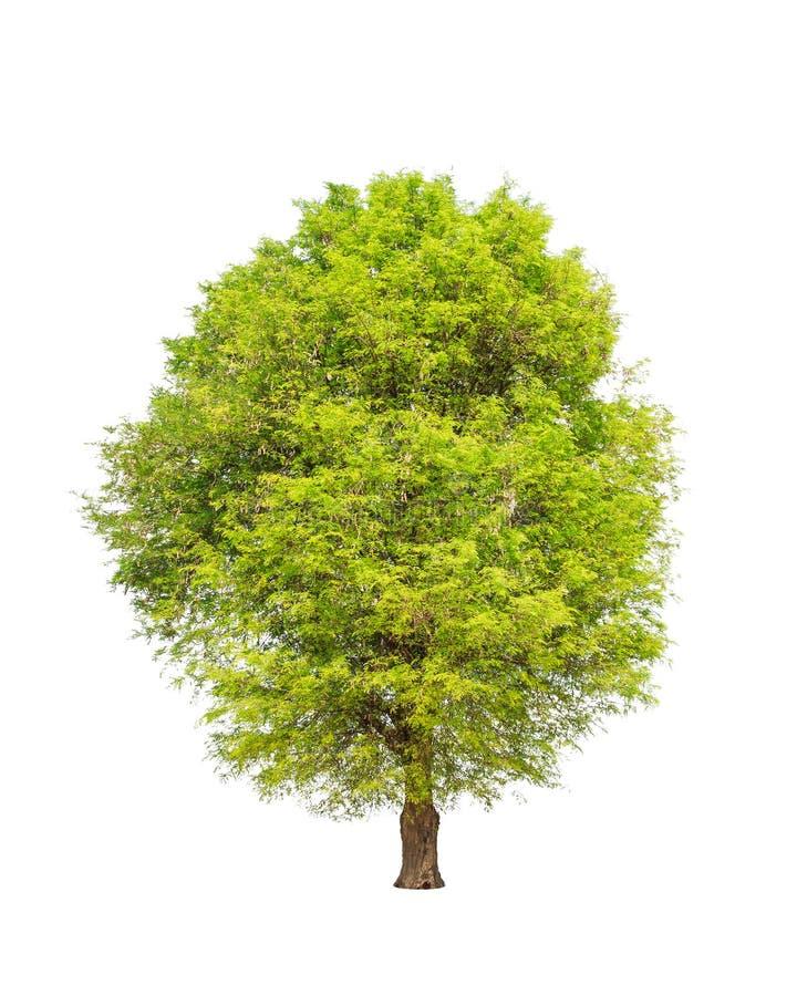 Tamarindeboom (Tamarindus indica) stock afbeeldingen