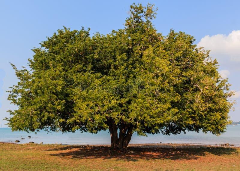 Tamarindfruktträd arkivfoto