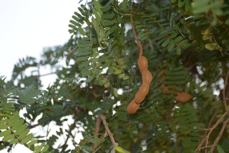 Tamarindo con l'albero fotografia stock