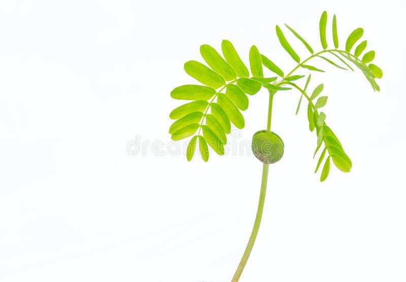 Tamarindo, data indiana, plântula, o broto verde do feijão, fase vegetativo da planta, a esperança nova com isolado a parte trase fotos de stock royalty free