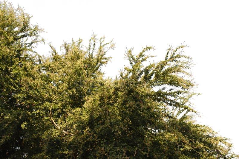 Tamarindo manila isolado no fundo branco com trajeto de grampeamento imagens de stock royalty free