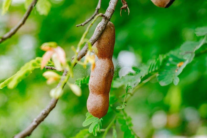 Tamarindo sull'albero immagine stock