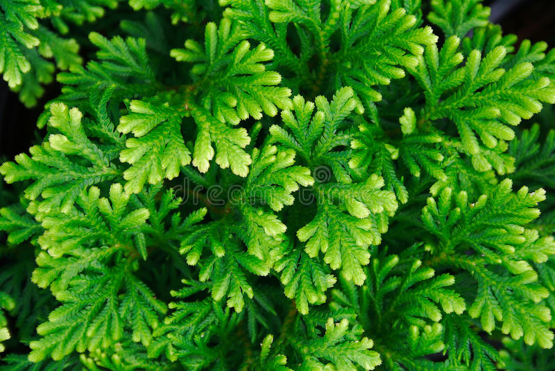 Tamariscina de Selaginella (P. Beauv.) Source photos libres de droits