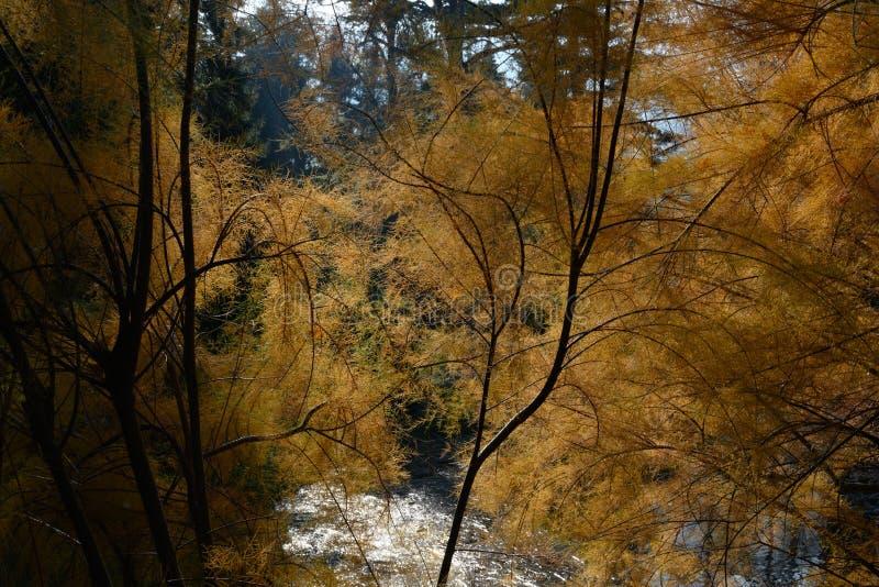 Tamarisk - Myricaria germanica - auf Ufer von See im Herbst lizenzfreie stockfotografie