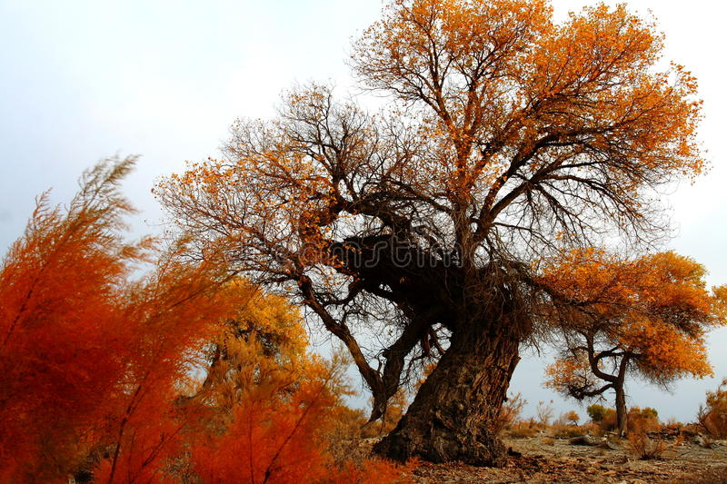 Tamarisk and Populus tree royalty free stock photos