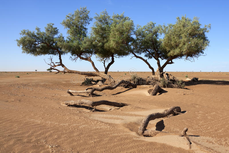 Tamarisk trees (Tamarix articulata) in the desert. royalty free stock photo