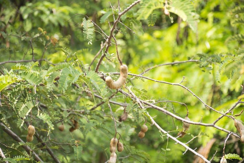 Tamarynda na drzewie Kwaśna smak owoc zdjęcie stock