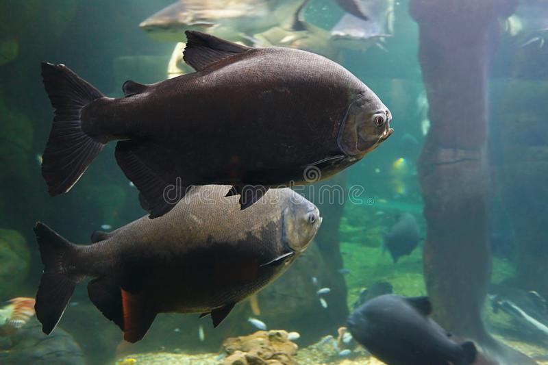 Tambaqui Colossoma macropomum, also known as the Black pacu, Black-finned pacu, giant pacu, cachama, gamitana in habitat. Tambaqui Colossoma macropomum, also royalty free stock images