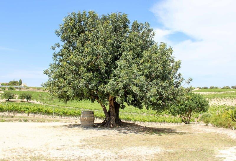 Tambor sob a árvore no vinhedo foto de stock