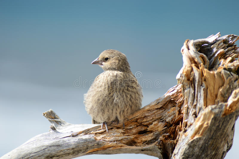 Tame brown bird perched on driftwood. royalty free stock photography