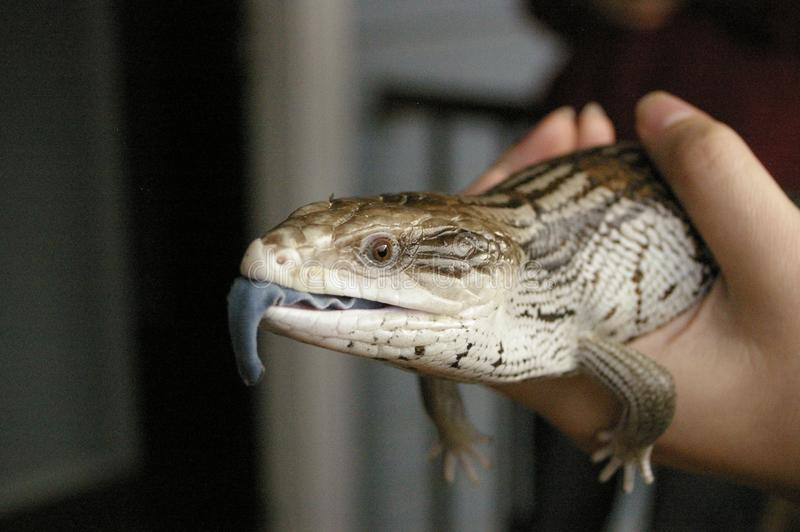 native blue-tongued lizard being held royalty free stock images