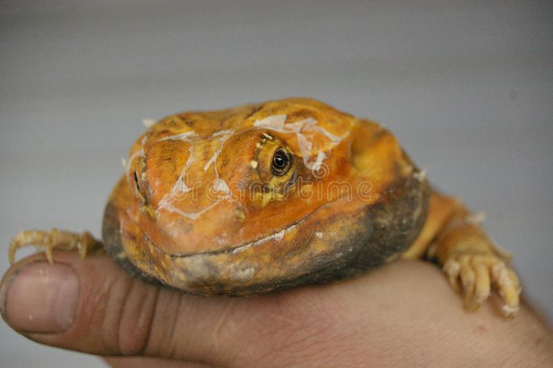 tame, captive, native orange leather back bearded dragon stock image