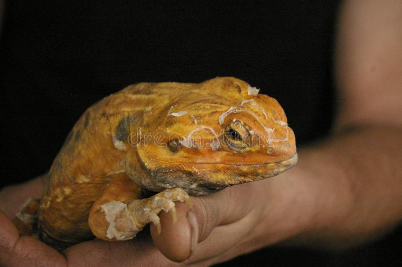 tame, captive, native orange leather back bearded dragon royalty free stock image
