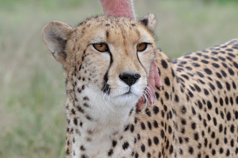 Download Tame Cheetah Royalty Free Stock Photo - Image: 14161795