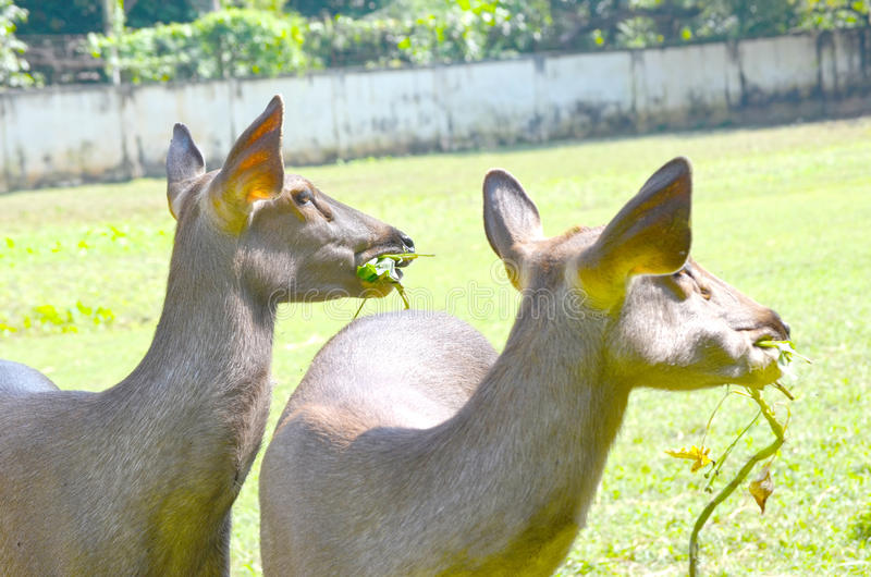 Tame deer. Close up of several tame deer looking to be fed stock photos