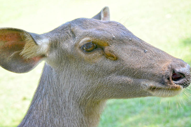 Tame deer. Close up of several tame deer looking to be fed royalty free stock photo