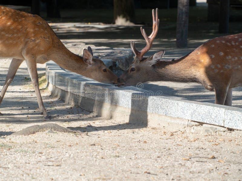 Tame deer couple caressing at the Miyajima island, Japan royalty free stock photos