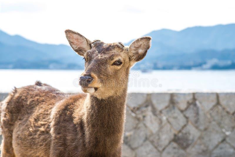 Tame deer resting on the streets of Miyajima Island Itsukushima. Japan royalty free stock photos