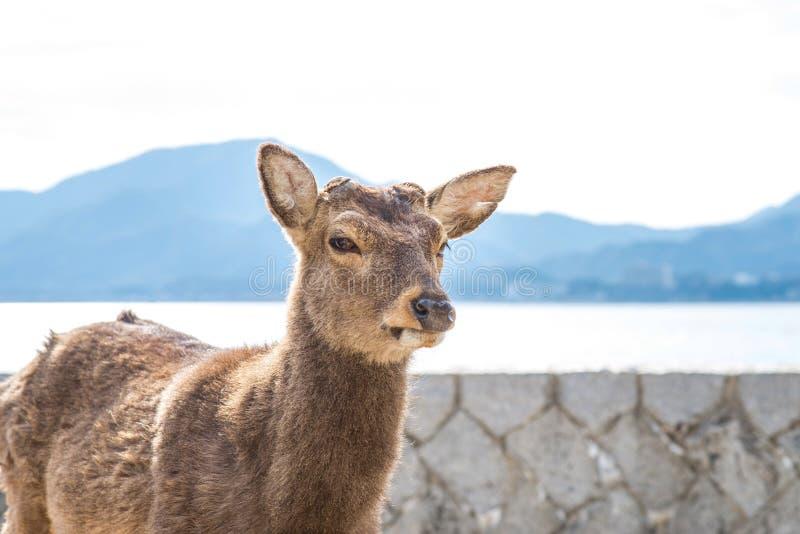 Tame deer resting on the streets of Miyajima Island Itsukushima. Japan stock photo