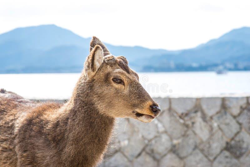 Tame deer resting on the streets of Miyajima Island Itsukushima. Japan stock image