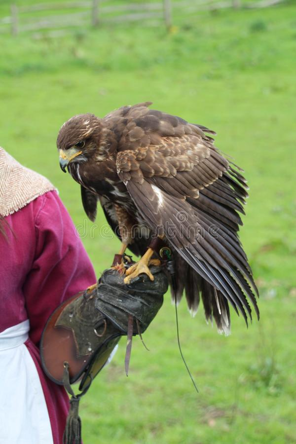 Harris Hawk. Tame Harris Hawk used for hunting by a falconer stock images