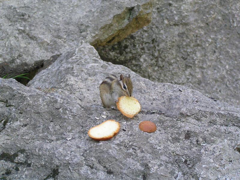 Tamia affamata fotografie stock libere da diritti