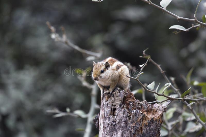 Tamia dans le bois photo libre de droits