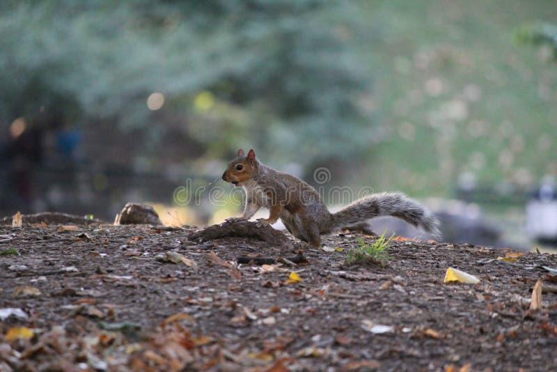 Tamia del Central Park immagine stock libera da diritti