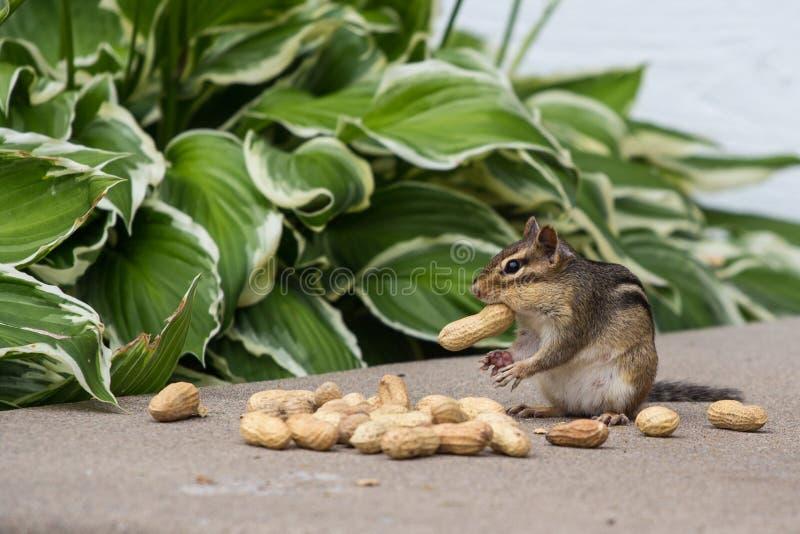 Tamia mangeant des arachides images stock