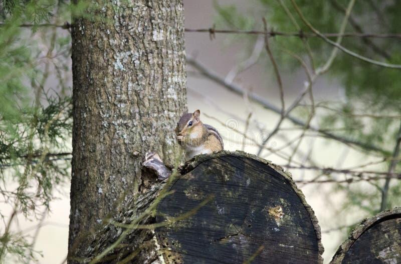 Tamia orientale sul ceppo della legna da ardere, Georgia, U.S.A. fotografia stock