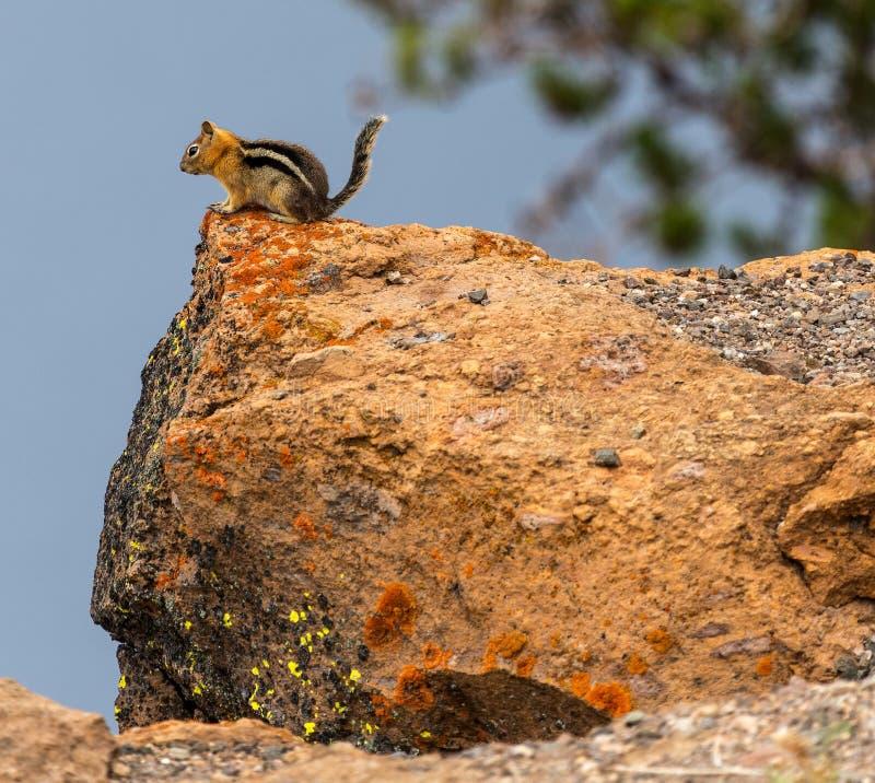 Tamia sur une roche photographie stock libre de droits