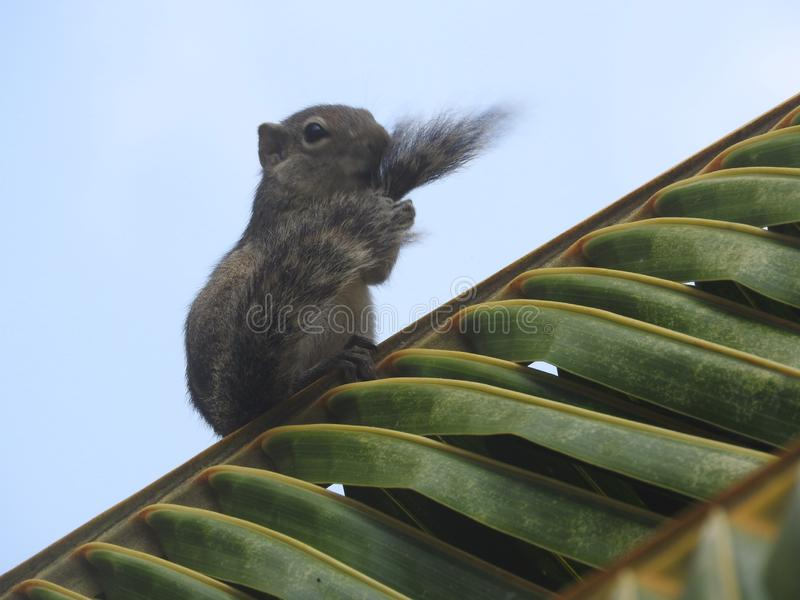 Tamia sveglia su erba verde nello Sri Lanka fotografia stock
