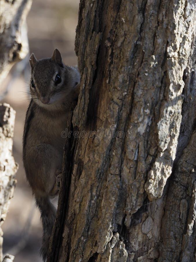 Tamia sveglia sull'albero che si nasconde nelle ombre immagini stock libere da diritti