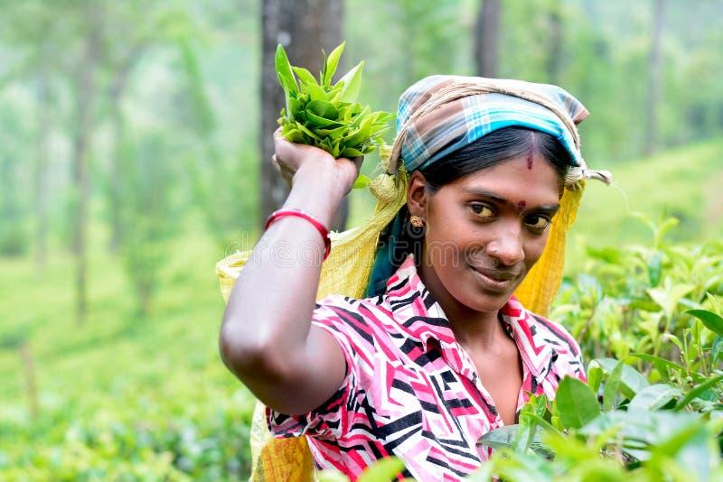 Tamil woman from Sri Lanka breaks tea leaves stock image